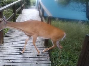 FI deer