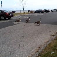14-geese road