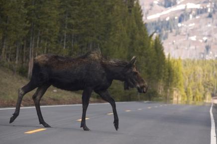 moose & car